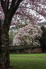 2018-04_11-937--1 (mercatormovens) Tags: frankfurt frühling baumblüte ostend mainufer city frankfurtammain