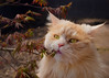 New leaves .... how cool ! (FocusPocus Photography) Tags: linus katze kater cat chat gato tier animal haustier pet japanahorn japanesemaple blätter leaves