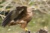 Milan noir Milvus migrans - Black Kite (Julien Ruiz) Tags: milan noir milvus migrans black kite