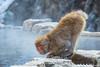 喝水 Drink / Nagano, Japan (yameme) Tags: olympus em5ii japan 日本 mft microfourthirds m43 travel 旅行 mirrorless evil 長野 nagano mzuiko 12100mmf4 地獄谷野猿公苑 jigokudaniyaenkoen monkey 猴 猿 猿猴 地獄谷 omd 散景 bokeh 生態