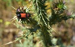Beetle 13 (orientalizing) Tags: beetle desktop featured greece insects mani panayiaagitria thistle tigani