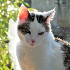 Jasmijn (Cajaflez) Tags: pet cat kat katze chat gatto huisdier portrait portret jasmijn coth5