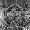 Horseshoe Tree (pmvarsa) Tags: spring 2018 analog bw blackandwhite film 120 mf 6x6 mediumformat ilford ilfordfp4plus fp4 125iso nikonsupercoolscan9000ed nikon coolscan cans2s mamiya c33 mamiyac33 classic camera tlr twinlensreflex mood bent tree nature roots struggle survival bark texture grasses forest woods trail life moraine art waterloo ontario canada