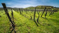 Wineyard (forceberg) Tags: grape wine tihany balaton hungary sheep grass road wood animal tree herd nikon dslr d600 fx nikkor 28300vr spring green white sigma 1224 hsm landscape sky mountain