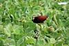 Gallito de agua (castellanosfenix04) Tags: bird ave vegetación agua plantas lechugadeagua humedal sabana