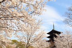 Pure spring in Kyoto (Teruhide Tomori) Tags: sakura cherry spring tree pagoda 五重塔 kyoto japan japon toji architecture building construction roof tradition 京都 東寺 寺院 春 桜 山桜 日本 庭園 garden happyplanet