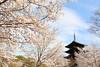 Pure spring in Kyoto (Teruhide Tomori) Tags: sakura cherry spring tree pagoda 五重塔 kyoto japan japon toji architecture building construction roof tradition 京都 東寺 寺院 春 桜 山桜 日本 庭園 garden