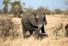 Elephant (mayekarulhas) Tags: krugerpark mpumalanga southafrica za elephant wildlife wild canon safari animal africa
