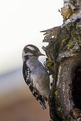 DUW_6436r (crobart) Tags: downy woodpecker bird birds richmond hill ontario spring