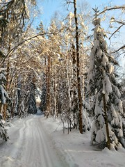 бесценное золото ясной и снежной зимы