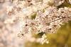 Sakura (Teruhide Tomori) Tags: sakura cherry spring tree kyoto japan japon toji 京都 東寺 春 桜 日本 庭園 garden blossom flower