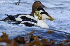 Common Eider (Somateria mollissima) (gcampbellphoto) Tags: common eider somateria mollissima seaduck bird nature wildlife atlantic north antrim northern ireland avian gcamobellphoto animal outdoor water waterfowl