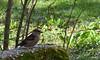 1er avril 2018 - Grosbec casse-noyaux (Mafate79) Tags: 2018 grosbeccassenoyaux grosbec coccothraustescoccothraustes fringillidés fringillidae oiseau passereau