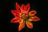 Georginen (Kati471) Tags: blume blüte rot dahlien georginen pflanze korbblütler asteraceae wunderschön flower plant blossom colour farbe red