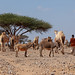 Young somali boy with his camels and donkeys in the desert, Dhagaxbuur region, Degehabur, Somaliland
