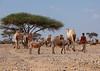 Young somali boy with his camels and donkeys in the desert, Dhagaxbuur region, Degehabur, Somaliland (Eric Lafforgue) Tags: africa africanethnicity agriculture camel climate climatechange degehabur developingcountry domesticanimals donkeys dromedary drought eastafrica emergenciesanddisasters environment extremeweather herbivorous herder horizontal hornofafrica mammal man men naturaldisaster nomad nomadic oneadultonly onemanonly oneperson outdoors ruralscene socialissues soma5288 somali somalia somaliland transportation unrecognisablepeople weather dhagaxbuurregion