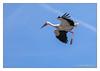 Scenes from the life of a stork (Joao de Barros) Tags: stork animal bird joão barros fly nature