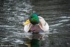 (riccardomaffiodo) Tags: nikon d750 70200 f4 papera duck winter neve lago valdisusa laghidiavigliana snow inverno