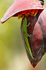Brightly Colored Gecko On Banana Blossom (AlaskaFreezeFrame) Tags: geckos gecko golddustdaygecko phelsumalaticauda lizards lizard hawaii kona hilo bigisland gorgeous beautiful canon 70200mm diurnal nature outdoors wildlife alaskafreezeframe banana bananablossoms telephoto vacation outdoor