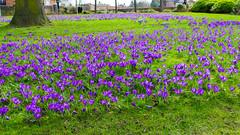 Crocus en masse, Stratford on Avon (Dave_A_2007) Tags: crocus flower nature plant stratforduponavon warwickshire england