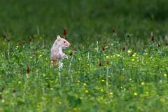 Albino Squirrel (c.s.reed) Tags: squirrel albino