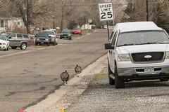 Turkeys in suburbia
