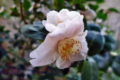 Kamelie in meinem Garten (mama knipst!) Tags: kamelie camellia blume flower fleur meingarten natur
