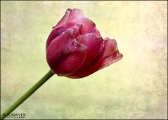 Tulips... (angelakanner) Tags: canon70d lensbaby twist60 composerpro pink tulips garden longisland