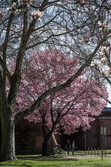 2018-04_12-959--1 (mercatormovens) Tags: frankfurt frühling baumblüte ostend mainufer city frankfurtammain