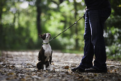 (Rebecca812) Tags: dog walk sit obedience obedient train pet bostonterrier fall leaves outdoors forest canon people man men jeans path green cute dogs animal rebecca812 rebeccanelson family