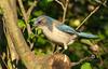 Western Scrub-Jay (kempo68) Tags: scrubjay birding wildlife