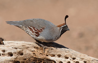 Gambel,s Quail male Elephant head pond az.