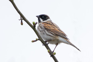 Reed Bunting......