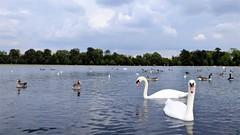 Kensington Gardens London (claude 22) Tags: londres london uk greatbritain kensington park gardens britain cygne nature animal wild england british angleterre swan