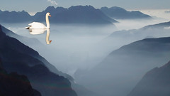 Mountain swan