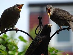DSC00147 (robinsparrow) Tags: starling birding birds birdwatching nature wildlife garden wild outdoor