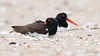 American Oystercatcher | 2018 - 6 (RGL_Photography) Tags: americanoystercatcher birding birds birdwatching gardenstate haematopodidae haematopus jerseyshore monmouthcounty mothernature nature newjersey nikond500 ornithology oystercatcher seapie us unitedstates waders wildlife wildlifephotography shorebirds gatewaynationalrecreationarea nikonafs600mmf4gedvr sandyhook