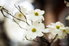 Dogwood #1 (mphelps311) Tags: dogwood nashville tennessee canon t1i spring