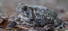 Totally A Toad Frog (Kat~Morgan) Tags: toad frog macro nature sonya3000