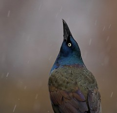 'You're Joking...' (Slow Turning) Tags: quiscalusquiscula commongrackle bird pose posing portrait closeup weather precipitation icepellets rain storm spring southernontario canada