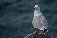 Herring gull - Goéland argenté (liloubreizh) Tags: herring gull goéland argenté bretagne brittany france sept îles archipel seabird