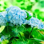 Hydrangea in The Meigetsuin, Kamakura : ヒメアジサイ(北鎌倉・明月院) thumbnail