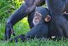 ♂ Kojo (Noodles Photo) Tags: schimpanse chimpanzee anthropoidea affen catarrhini altweltaffen hominoidea menschenartige hominidae menschenaffe homininae pan jungtier primat primates mammal säugetier zoo zoomerlebniswelt zoomerlebnisweltgelsenkirchen ruhrzoogelsenkirchen gelsenkirchen nrw northrhinewestphalia nordrheinwestfalen deutschland germany canoneos7dmarkii ef100400mmf4556lisusm