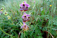 Calliantha's Orchid (Ophrys calliantha) Prächtige Schnabel-Ragwurz (Werner Witte) Tags: callianthasorchid ophryscalliantha prächtigeschnabelragwurz valledellanapo sizilien wernerwitte orchidee orchid outdoor taxonomy:binomial=ophryscalliantha