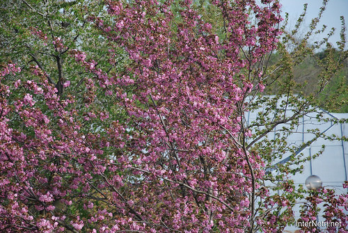 Ботанічний сад імені Гришка Цвітуть магнолії InterNetri  Ukraine 187