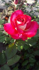 In the rose garden 12 (navarrobi) Tags: rosa rose flower