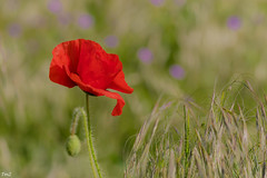 En descendant dans mon jardin !!!! (thierrymazel) Tags: flowers coquelicots poppy printemps spring bokeh pdc dof profondeurdechamp