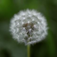 Every One a Wish (Kez Price) Tags: nature garden dandelion bokeh wishes wishing green beautiful