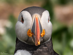 Puffin Portrait (Steve (Hooky) Waddingham) Tags: bird british coast nature northumberland fish farnes sea summer photography wild wildlife