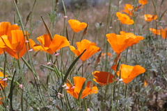 California Poppies (qorp38) Tags: californiapoppies